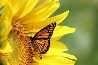 Foto: Schmetterling auf Blume